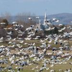 Une envolée d'oies blanches
